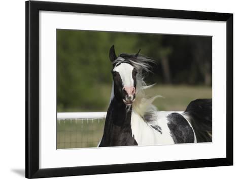 Gypsy Vanner 034-Bob Langrish-Framed Art Print