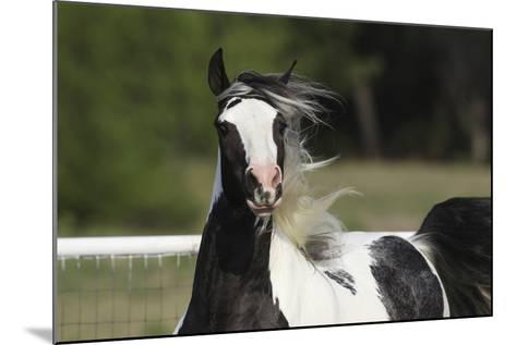 Gypsy Vanner 034-Bob Langrish-Mounted Photographic Print