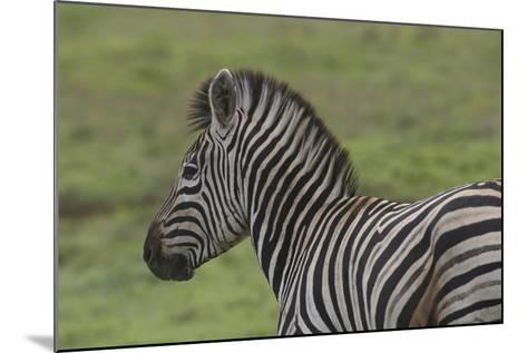 African Zebras 071-Bob Langrish-Mounted Photographic Print