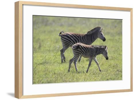 African Zebras 068-Bob Langrish-Framed Art Print