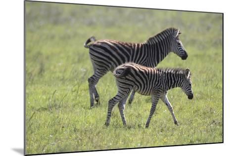 African Zebras 068-Bob Langrish-Mounted Photographic Print