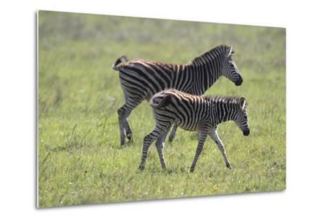 African Zebras 068-Bob Langrish-Metal Print