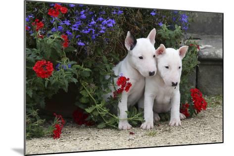 Bull Terrier 02-Bob Langrish-Mounted Photographic Print