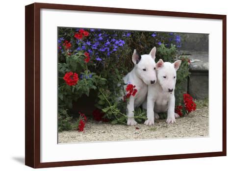 Bull Terrier 02-Bob Langrish-Framed Art Print