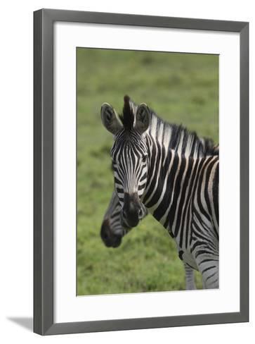 African Zebras 073-Bob Langrish-Framed Art Print
