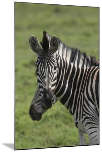 African Zebras 073-Bob Langrish-Mounted Photographic Print
