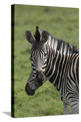 African Zebras 073-Bob Langrish-Stretched Canvas Print