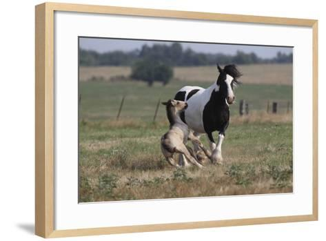 Gypsy Vanner 037-Bob Langrish-Framed Art Print