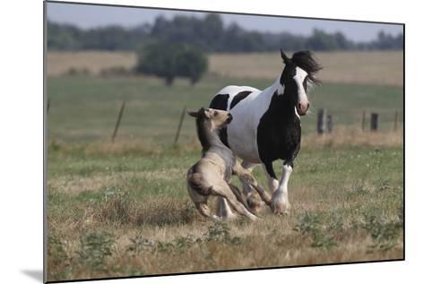 Gypsy Vanner 037-Bob Langrish-Mounted Photographic Print