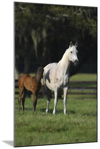 Hennessy Arabians 014-Bob Langrish-Mounted Photographic Print