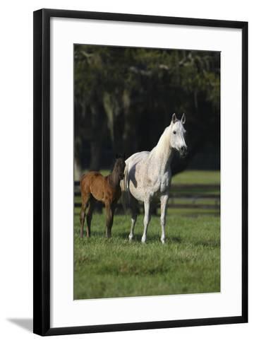 Hennessy Arabians 014-Bob Langrish-Framed Art Print