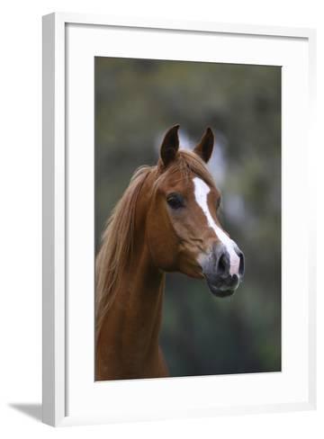 Ploomwood Arabians 011-Bob Langrish-Framed Art Print
