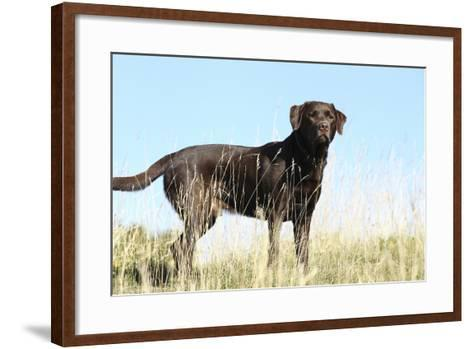Chocolate Labrador Retriever 35-Bob Langrish-Framed Art Print