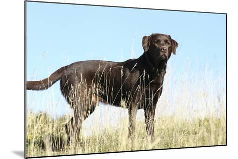 Chocolate Labrador Retriever 35-Bob Langrish-Mounted Photographic Print