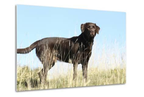 Chocolate Labrador Retriever 35-Bob Langrish-Metal Print