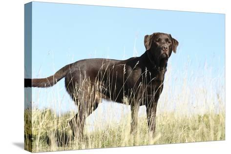 Chocolate Labrador Retriever 35-Bob Langrish-Stretched Canvas Print