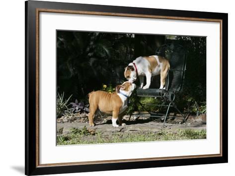 French Bulldog 47-Bob Langrish-Framed Art Print