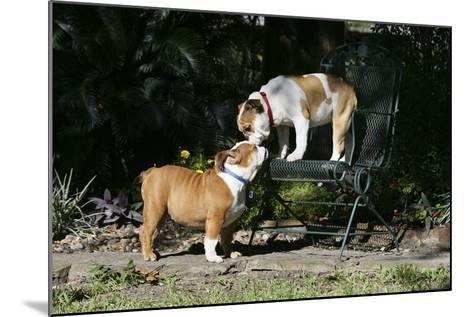French Bulldog 47-Bob Langrish-Mounted Photographic Print