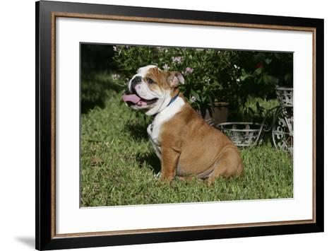 French Bulldog 53-Bob Langrish-Framed Art Print