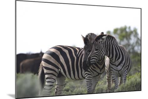 African Zebras 076-Bob Langrish-Mounted Photographic Print