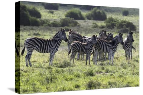 African Zebras 101-Bob Langrish-Stretched Canvas Print
