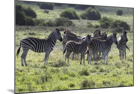 African Zebras 101-Bob Langrish-Mounted Photographic Print