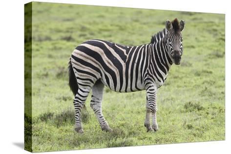 African Zebras 104-Bob Langrish-Stretched Canvas Print