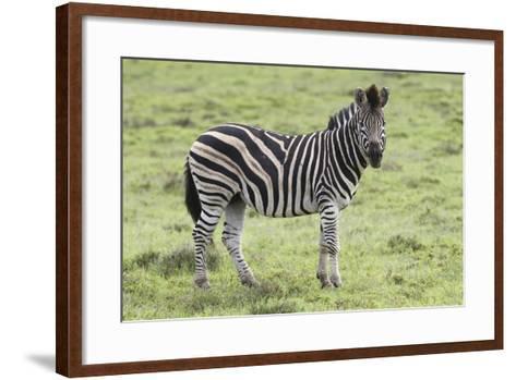 African Zebras 104-Bob Langrish-Framed Art Print