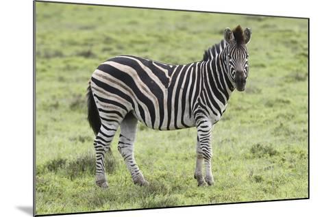 African Zebras 104-Bob Langrish-Mounted Photographic Print