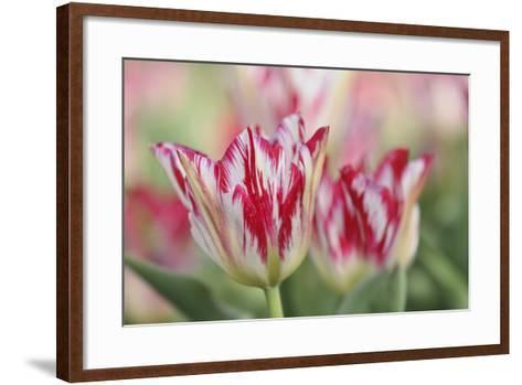 Rembrandt Silver Standard Tulip-Cora Niele-Framed Art Print