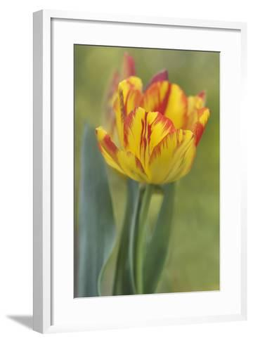 Rembrandt Tulip-Cora Niele-Framed Art Print