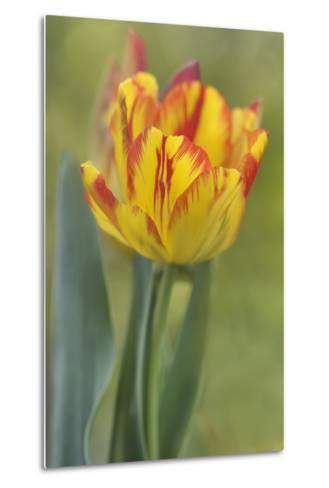 Rembrandt Tulip-Cora Niele-Metal Print