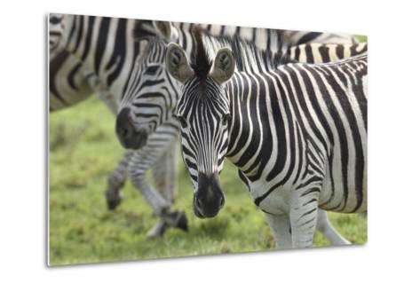 African Zebras 107-Bob Langrish-Metal Print