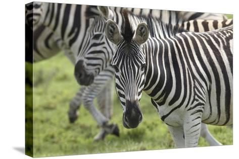 African Zebras 107-Bob Langrish-Stretched Canvas Print