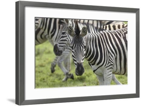 African Zebras 107-Bob Langrish-Framed Art Print