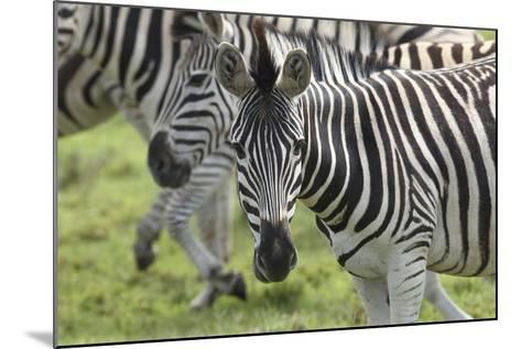 African Zebras 107-Bob Langrish-Mounted Photographic Print