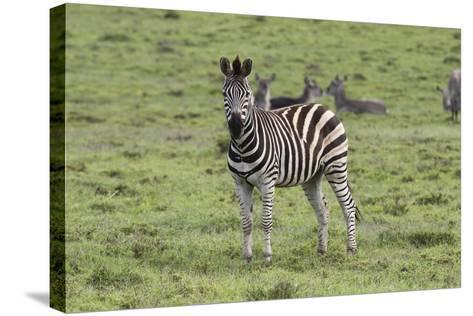 African Zebras 106-Bob Langrish-Stretched Canvas Print