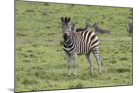 African Zebras 106-Bob Langrish-Mounted Photographic Print