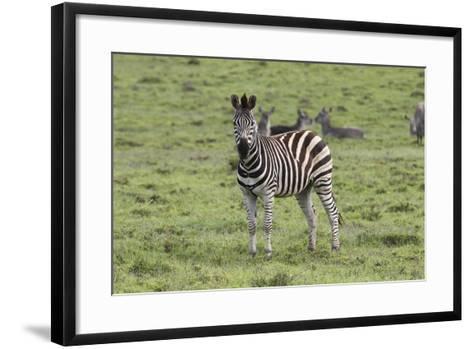 African Zebras 106-Bob Langrish-Framed Art Print