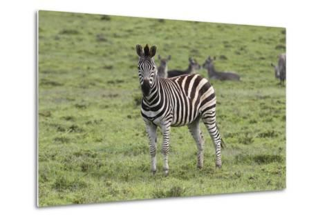 African Zebras 106-Bob Langrish-Metal Print