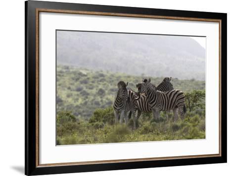 African Zebras 112-Bob Langrish-Framed Art Print