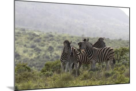 African Zebras 112-Bob Langrish-Mounted Photographic Print