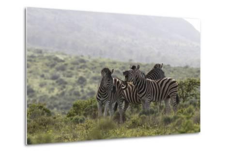 African Zebras 112-Bob Langrish-Metal Print