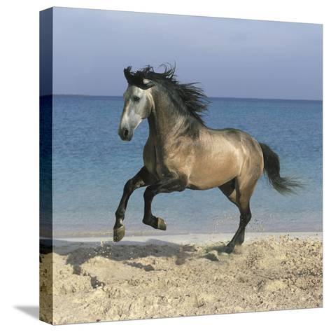 Dream Horses 102-Bob Langrish-Stretched Canvas Print