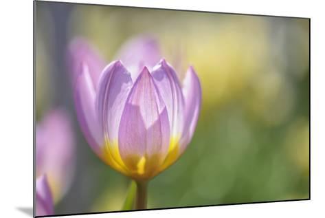 Tulip 'Lilac Wonder'-Cora Niele-Mounted Photographic Print