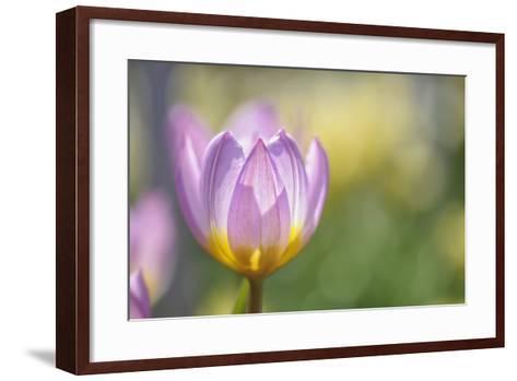 Tulip 'Lilac Wonder'-Cora Niele-Framed Art Print