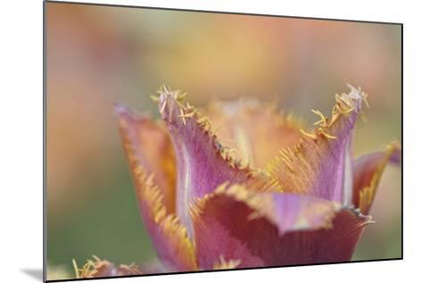 Tulip Crispa-Cora Niele-Mounted Photographic Print
