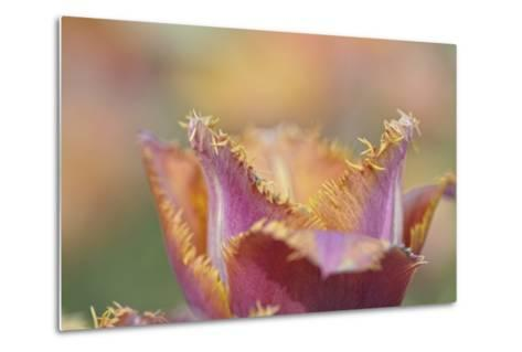 Tulip Crispa-Cora Niele-Metal Print