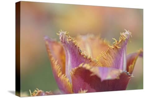 Tulip Crispa-Cora Niele-Stretched Canvas Print