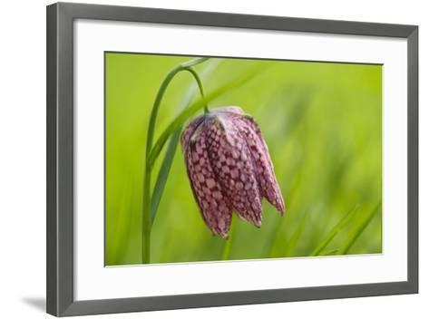 Snake's Head Fritillary Flower-Cora Niele-Framed Art Print